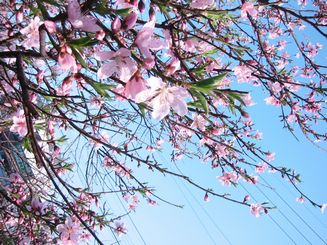 cherry blossom at kyoto