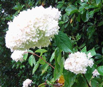 Stourhead - 大きな白い紫陽花