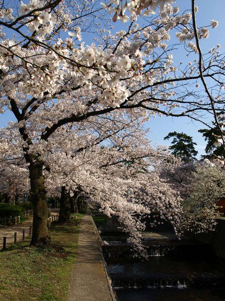 Sakura 2008-2