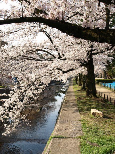 Sakura20083