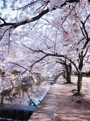 Shukugawa桜2007